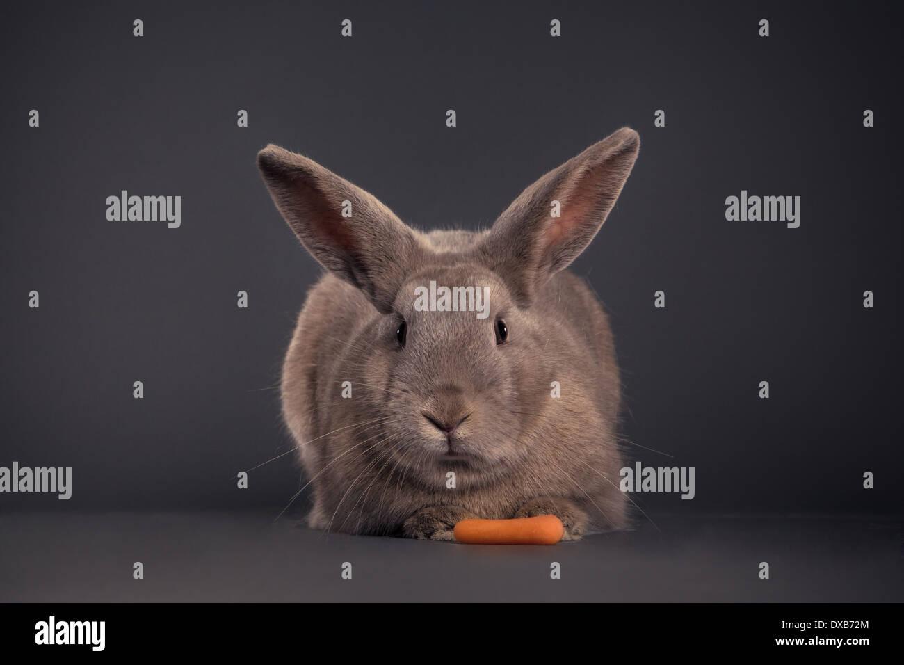 Kaninchen gerichtete Kamera mit Karotte. Stockbild