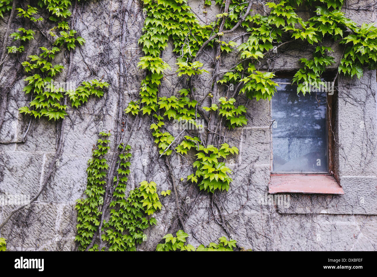 Altes Schloss Mit Efeu An Der Wand Stockfoto, Bild