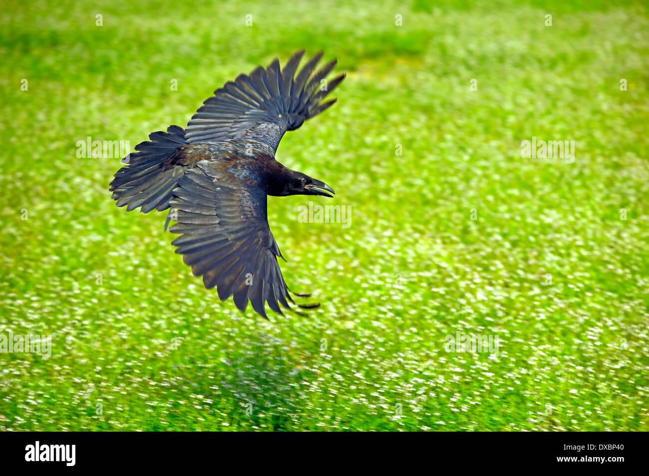 Nord- oder gemeinsame Raven (Corvus Corax) im Flug Stockbild
