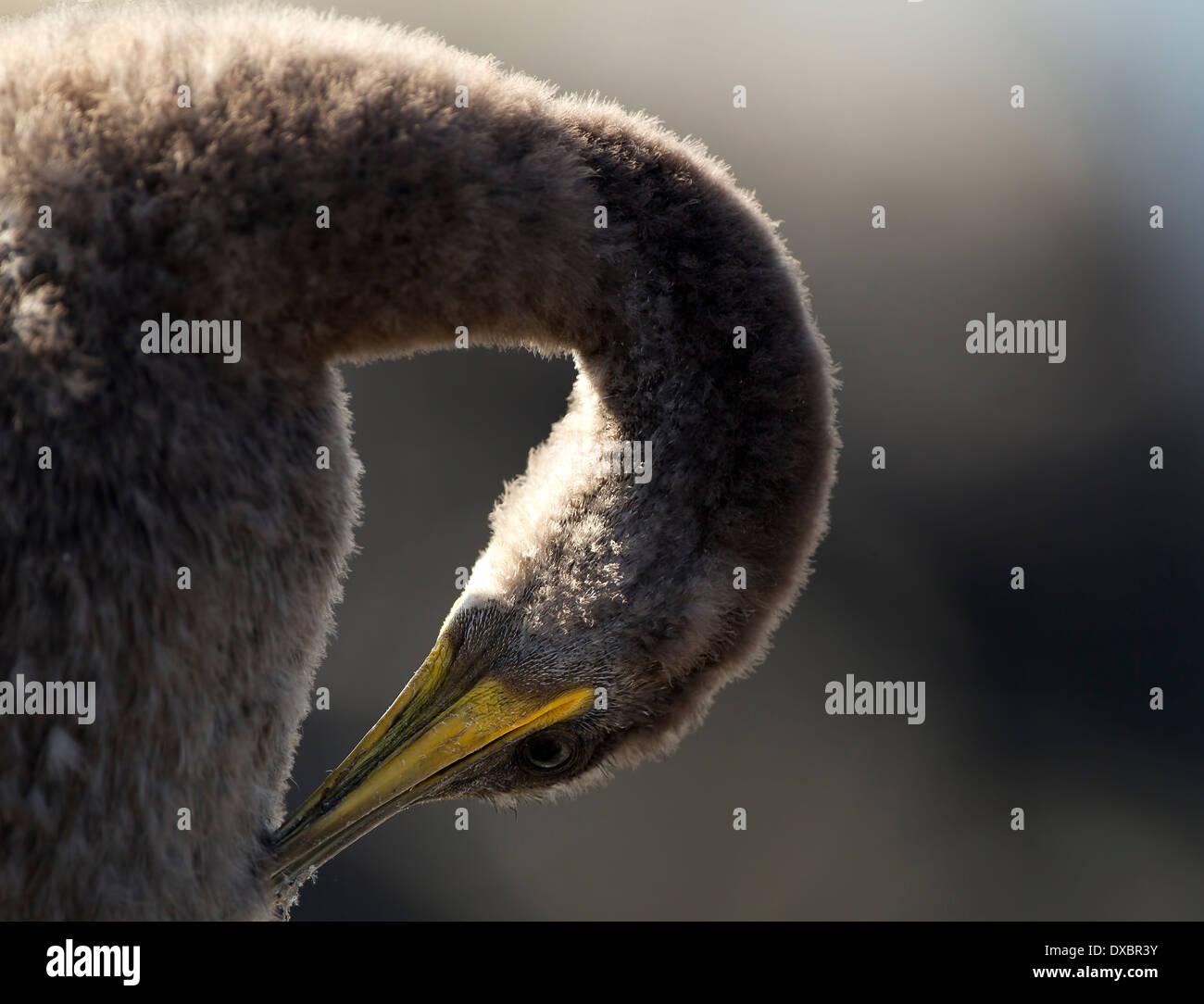 Juvenile Shag Küken putzen Stockbild
