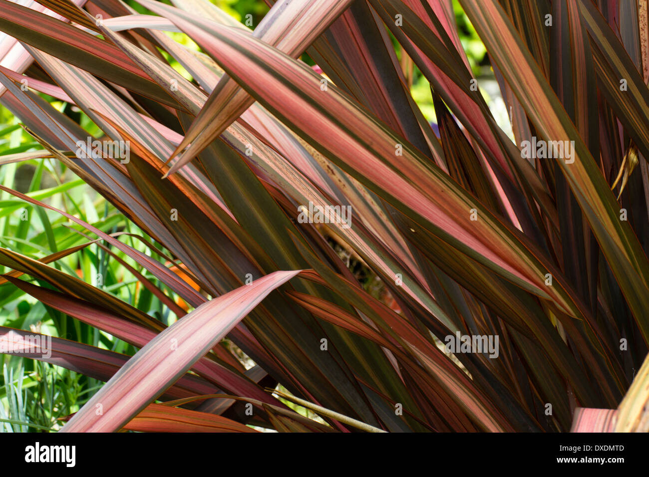 """Bunten Riemen wie Blätter von Phormium Cookianum """"Abendrot"""" Stockfoto"""