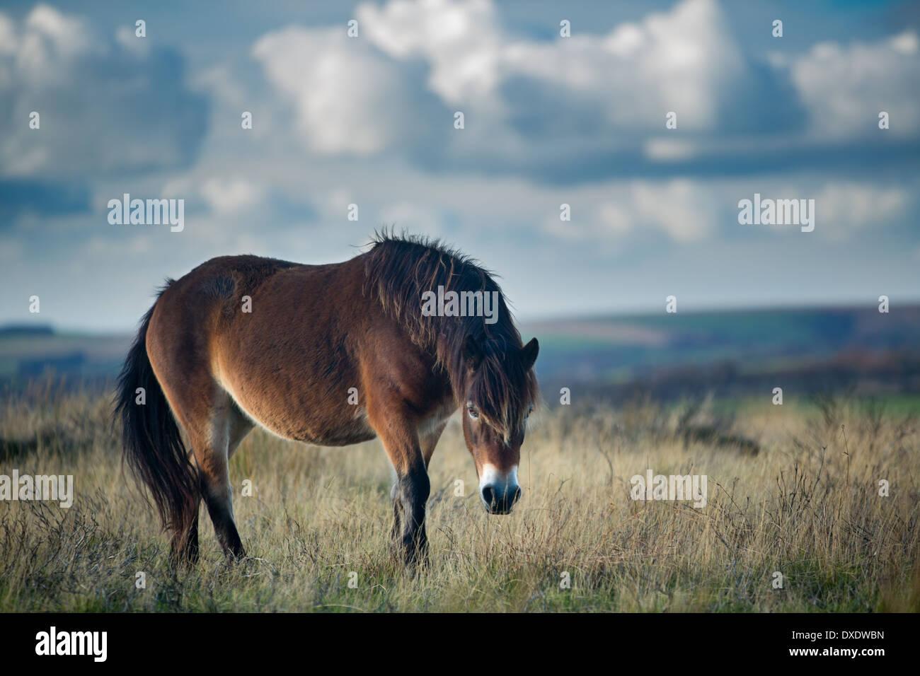 Wildpferde auf Winsford Hill, Exmoor National Park, Somerset, England, UK Stockbild