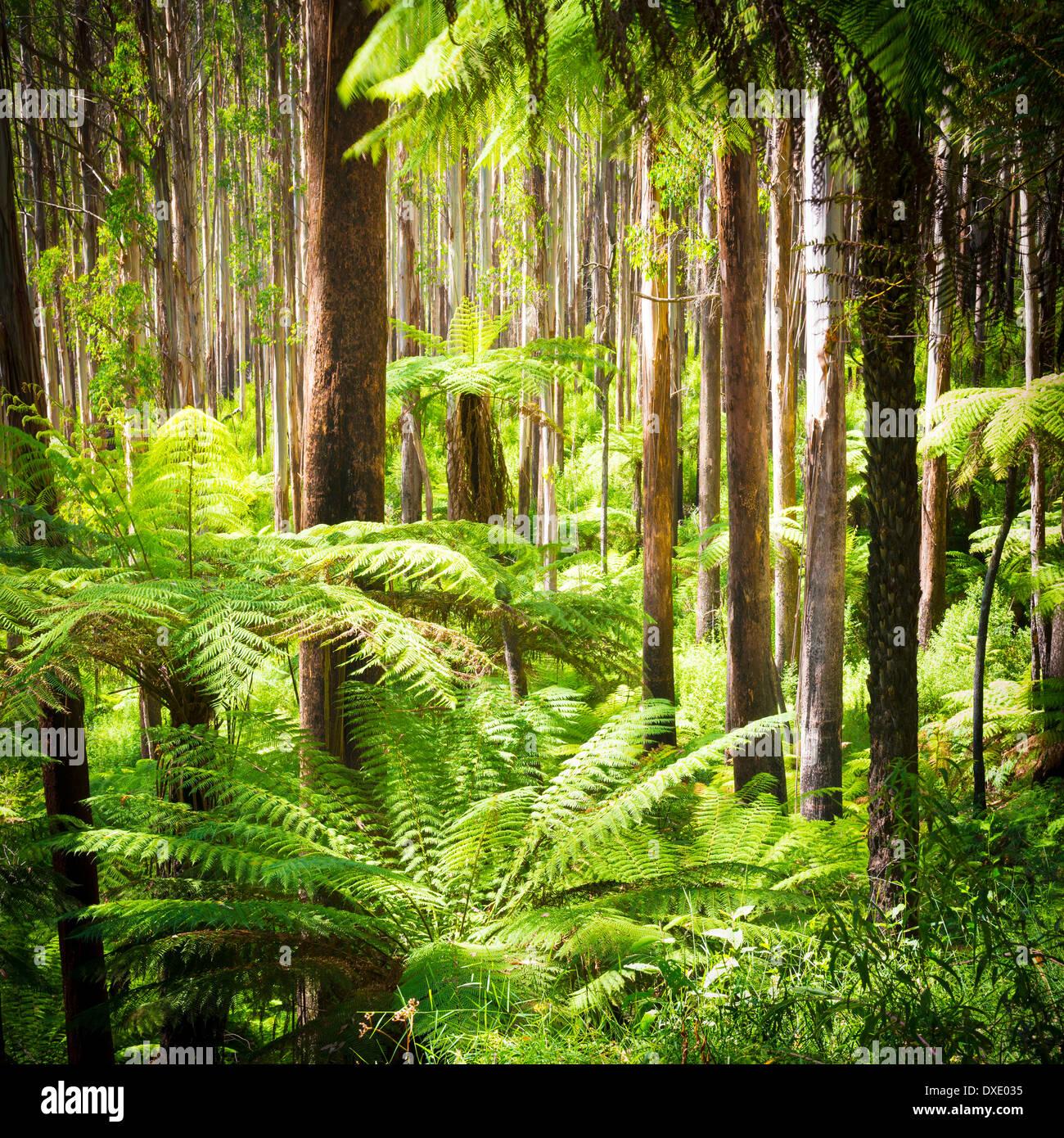 Üppigen grünen Farnen, Baumfarnen und hoch aufragenden Eberesche entlang der schwarzen Sporn, Victoria, Stockbild