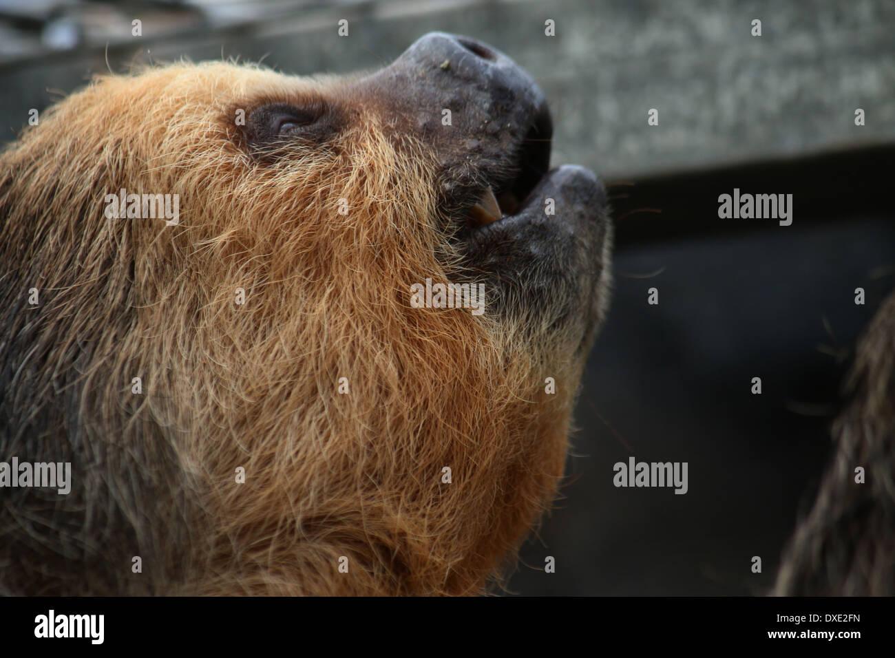 Hoffmanns zwei – Finger Faultier (Choloepus Hoffmanni) Nahaufnahme des Kopfes Stockfoto
