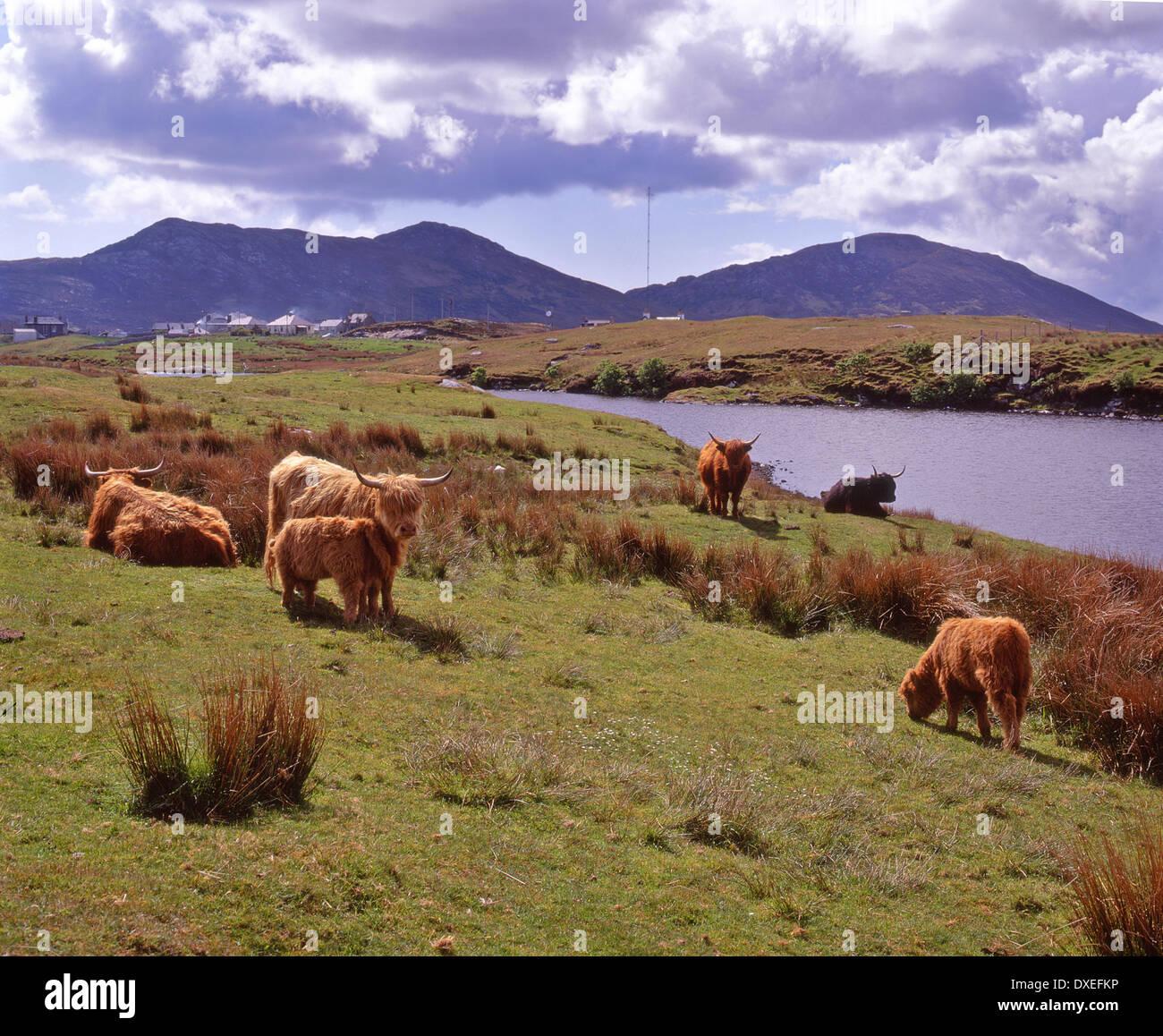 Highland-Rinder weiden nr Lochmaddy North Uist, äußeren Hebriden. Stockfoto