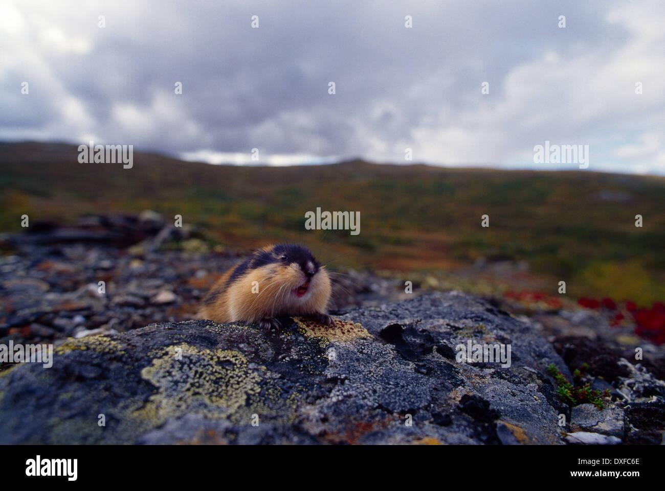 Norwegen-Lemming (Lemmus Lemmus) Stockbild