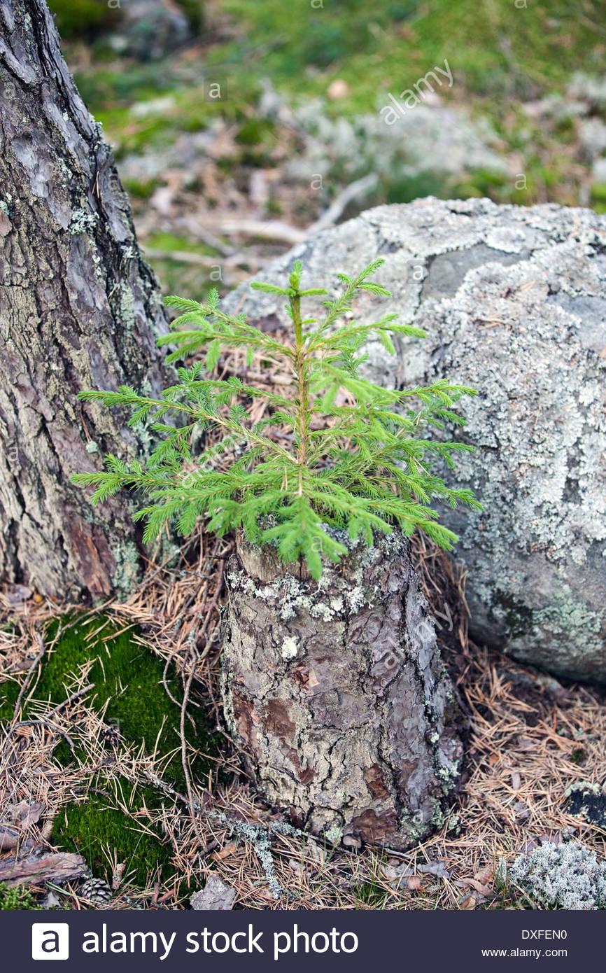 Tannenbaum Dxf.Kleiner Tannenbaum Stockfotos Kleiner Tannenbaum Bilder Alamy