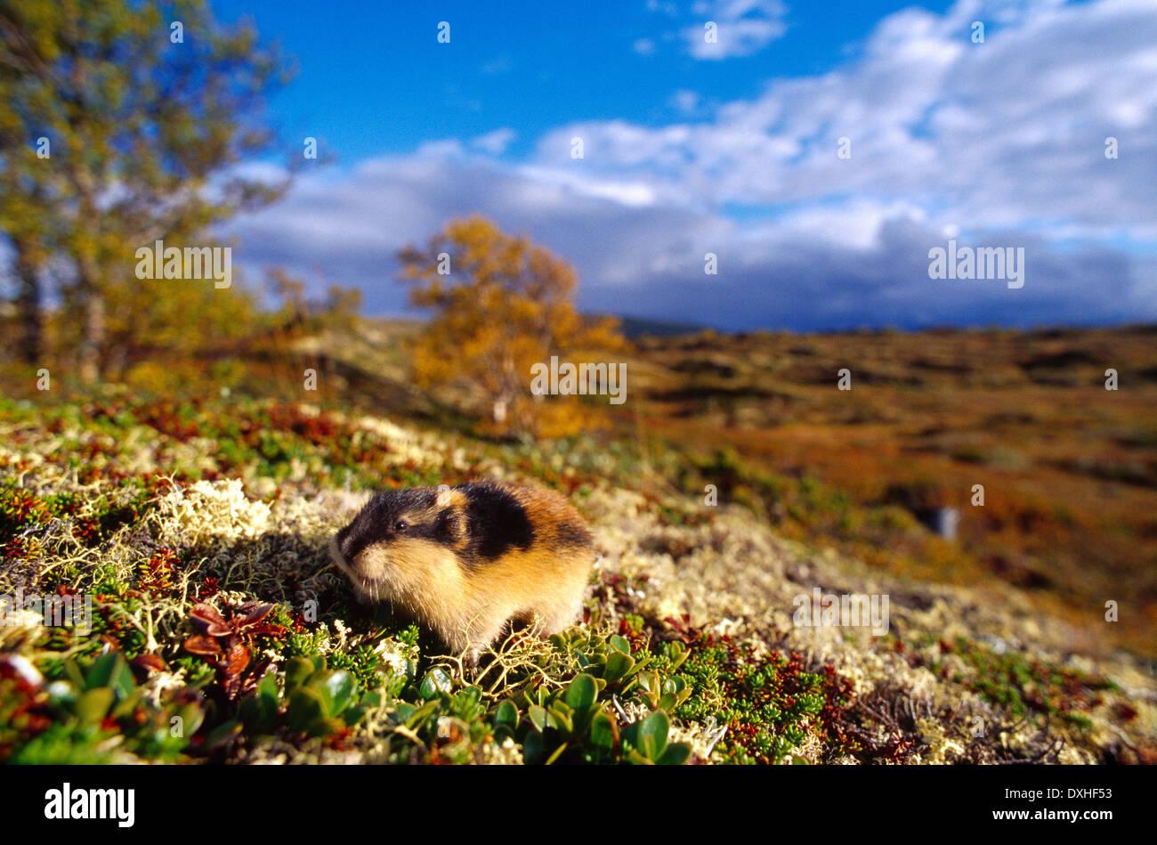 Norwegen-Lemming (Lemmus Lemmus) Tundra Stockbild