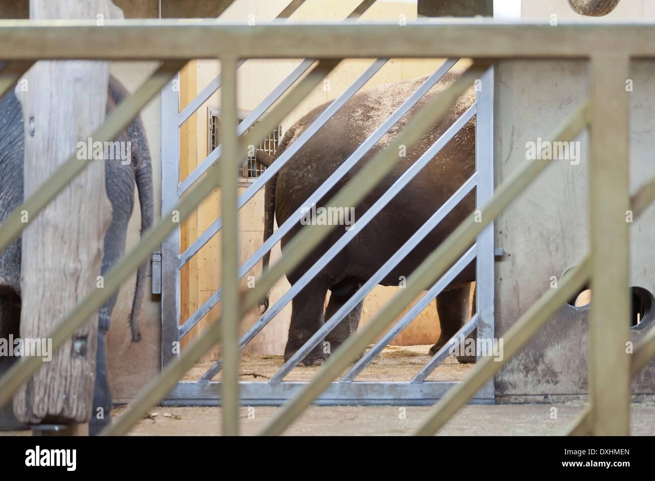 Zoo-Elefant in seiner eisernen Käfig gefangen Stockbild