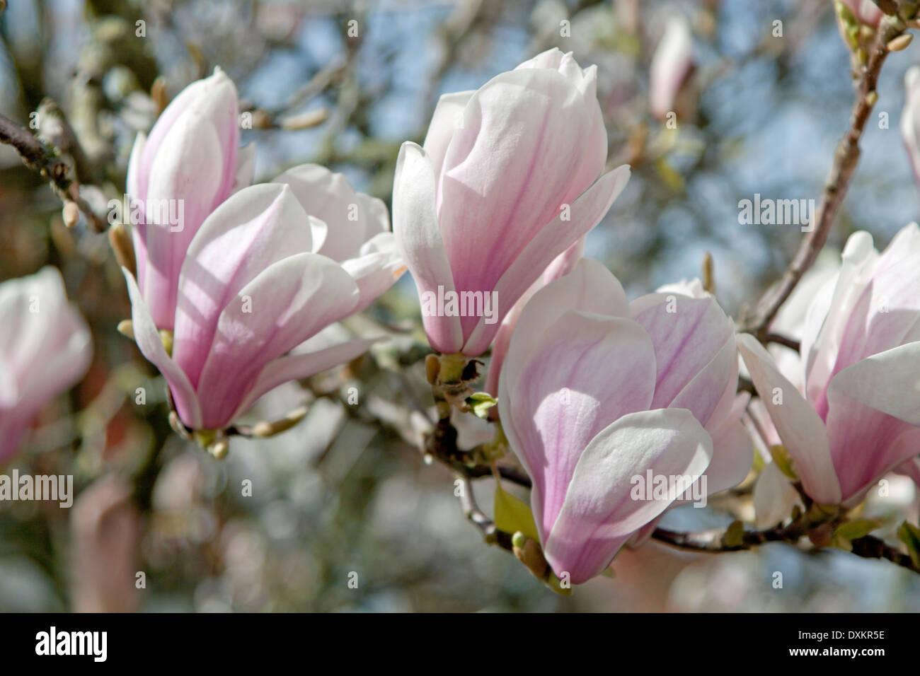 magnolia soulangeana bl te mit fr h bl hende blumen in verschiedenen schattierungen von wei. Black Bedroom Furniture Sets. Home Design Ideas