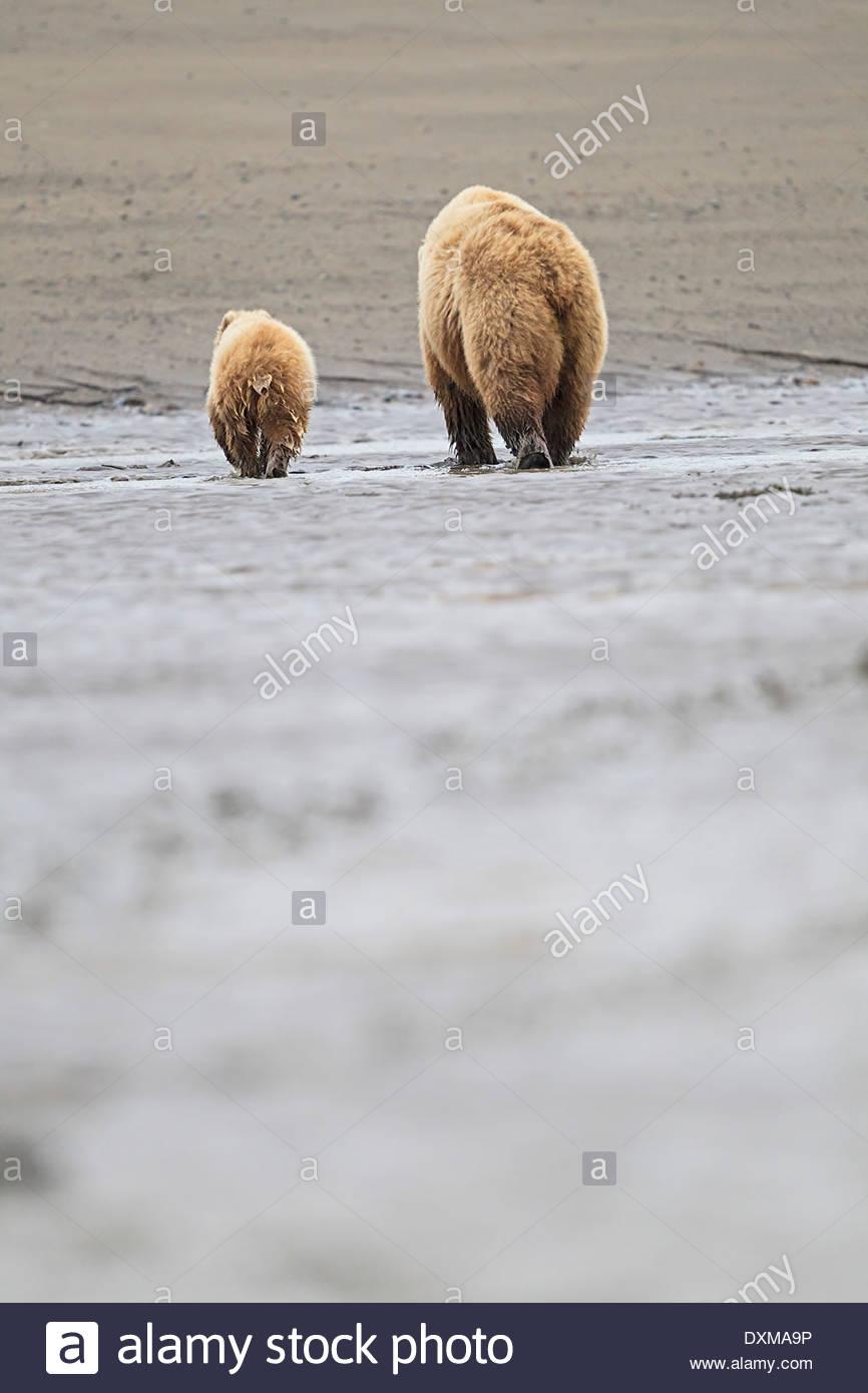USA, Alaska, Lake-Clark-Nationalpark und Konserve, Braunbär und Eisbären (Ursus Arctos), auf Nahrungssuche Stockbild