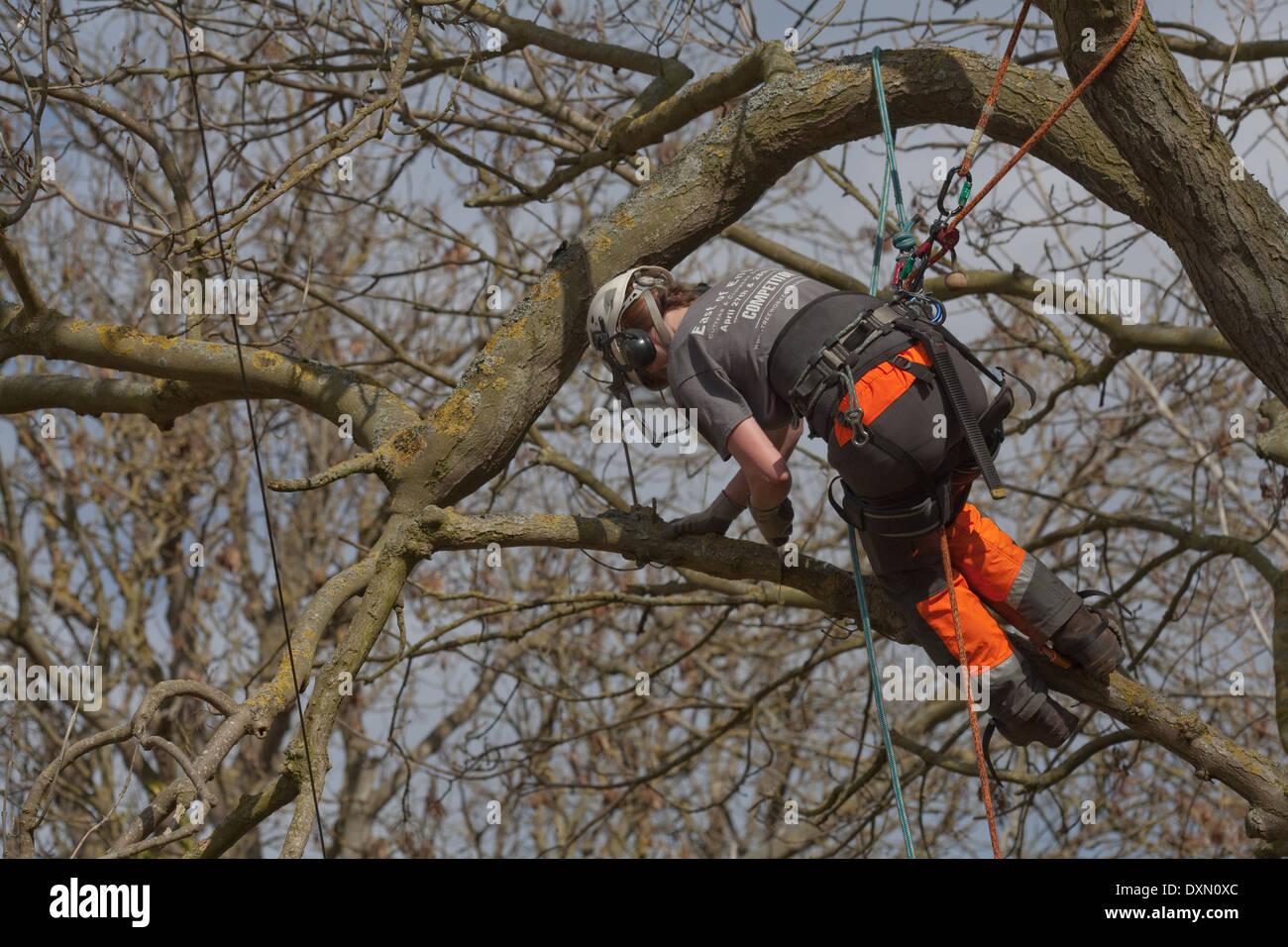 Baum Kletter Gurt : Baum chirurg klettern gesichert durch gurt zu angrenzenden Äste und