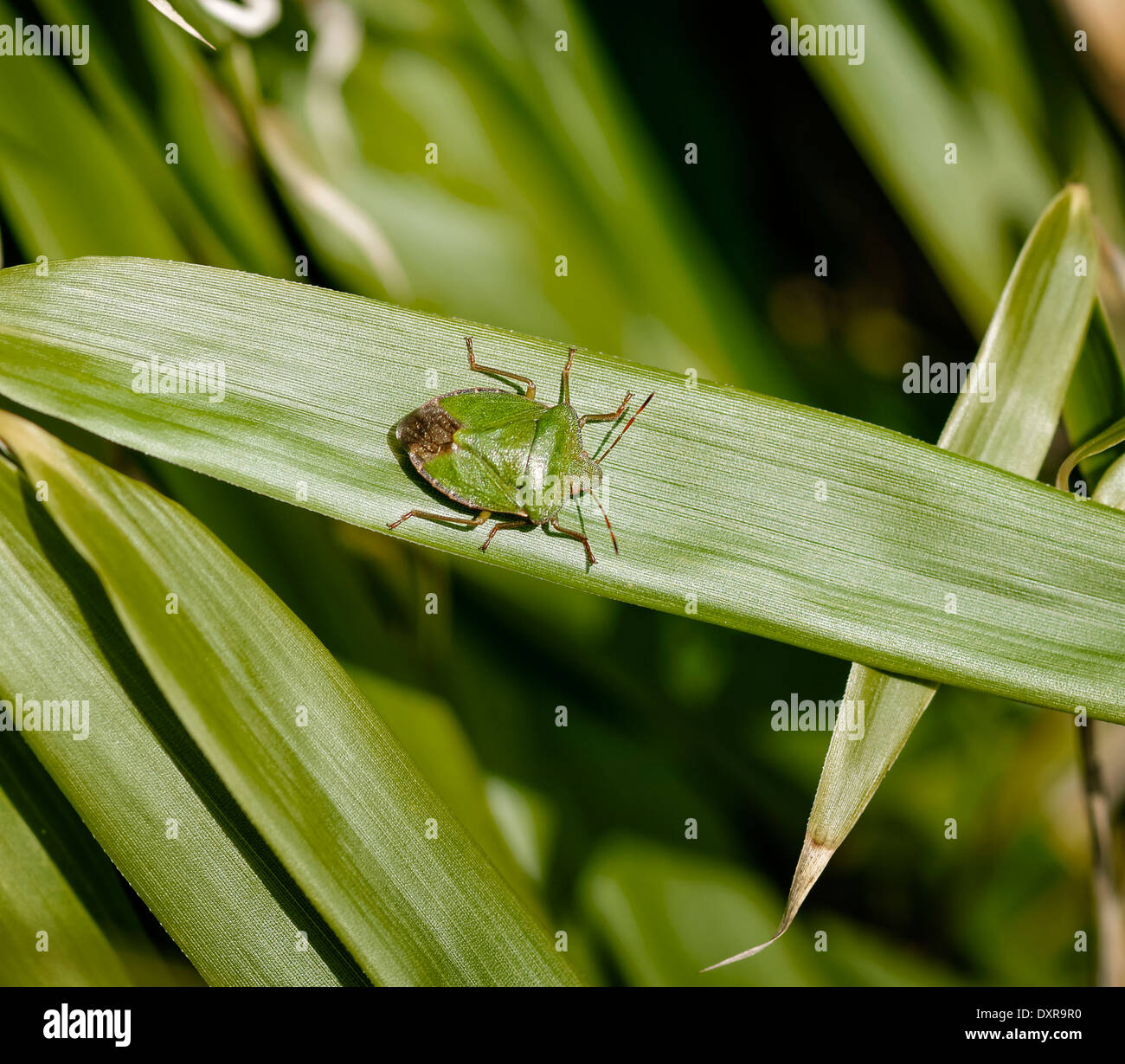 Green Shield Bug (Stink Bug) auf Bambusblatt, wies rechts; Querformat. Stockbild