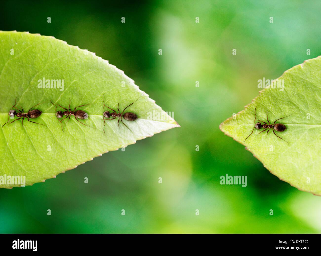Ameise auf Blatt gestrandet Stockfoto
