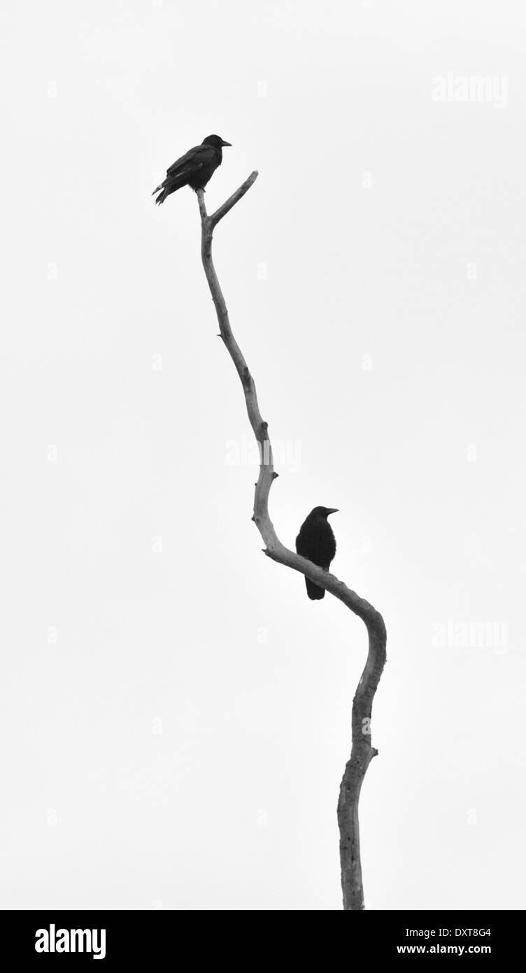 Krähen auf Toten Ast. Aufnahme in Bushy Park, London, UK Stockbild