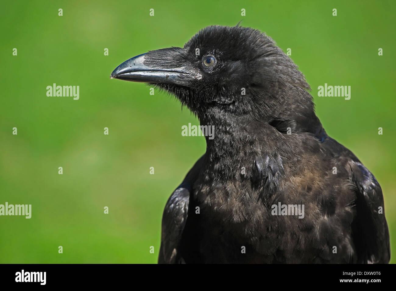Gemeinsame oder nördlichen Raven (Corvus Corax) closeup Stockbild