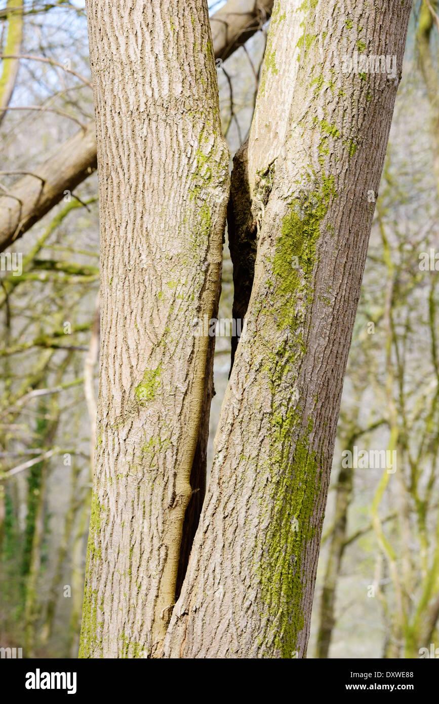 Natürliche Spalt in den Kofferraum eines Esche, Fraxinus Excelsior, idealer Lebensraum für Fledermäuse, Wales, UK. Stockbild