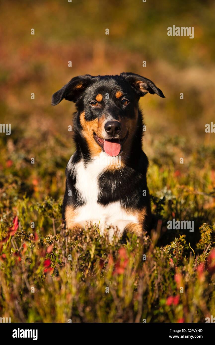 Appenzeller Sennenhund, junger Hund im Herbst, Nord-Tirol, Österreich Stockbild