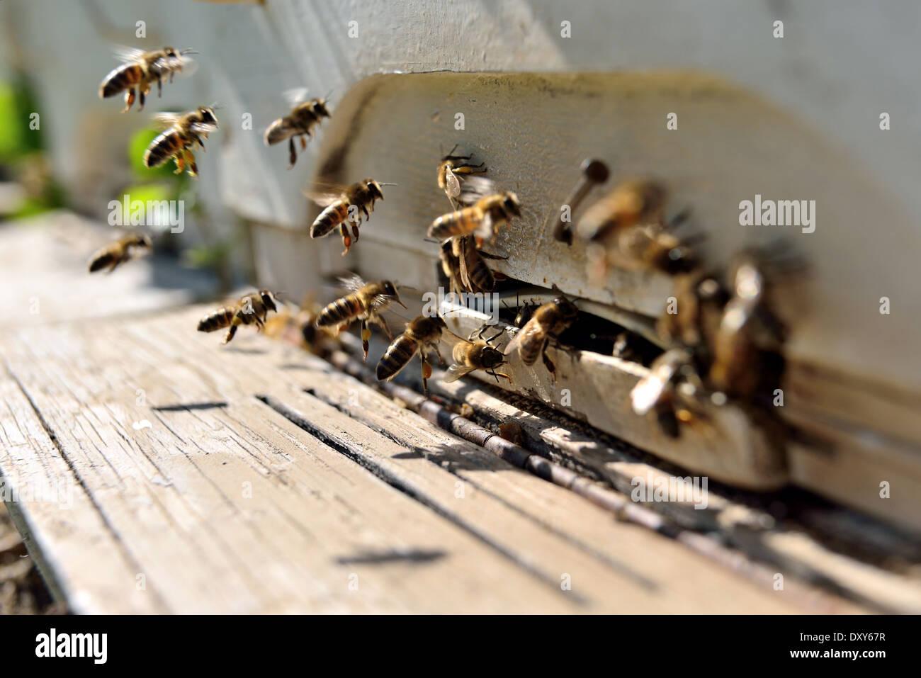 Bienen fliegen vor einem Bienenstock Stockbild