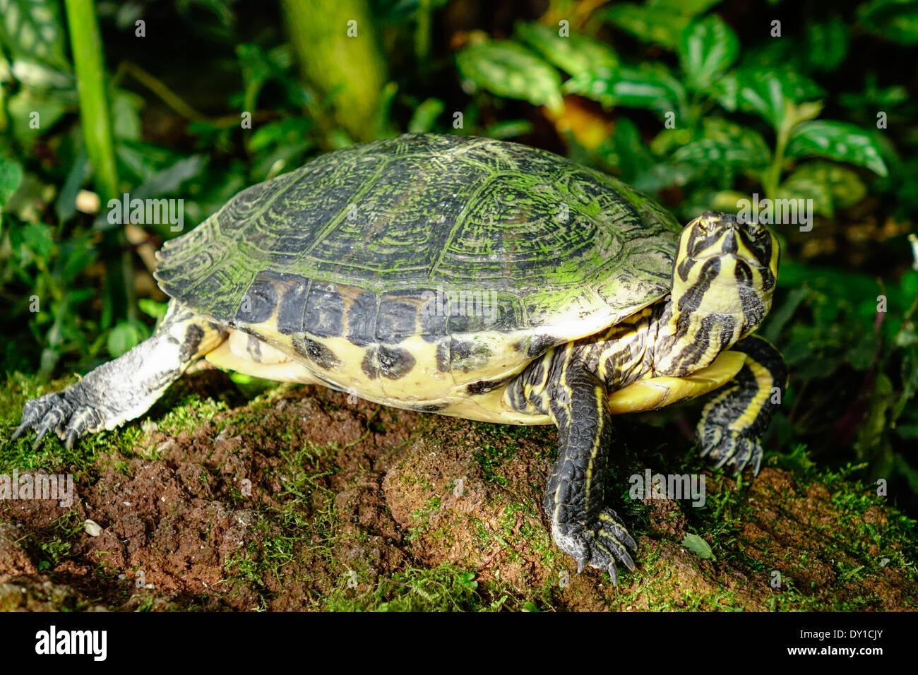 Schildkröte Im Gewächshaus Botanischer Garten München Bayern
