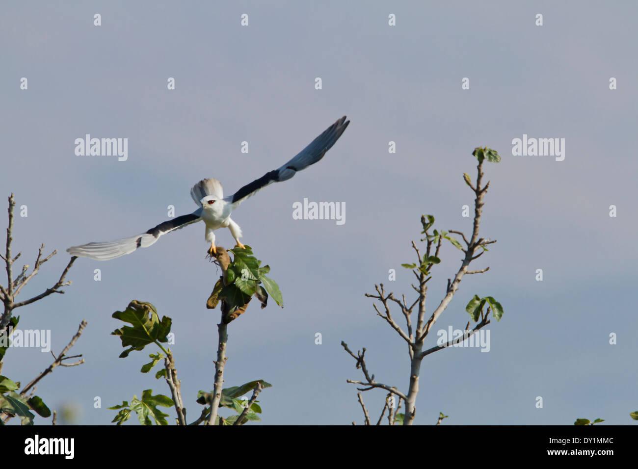 Gleitaar (Elanus Caeruleus) auf Baumkronen, Hulla-Tal, israel Stockbild