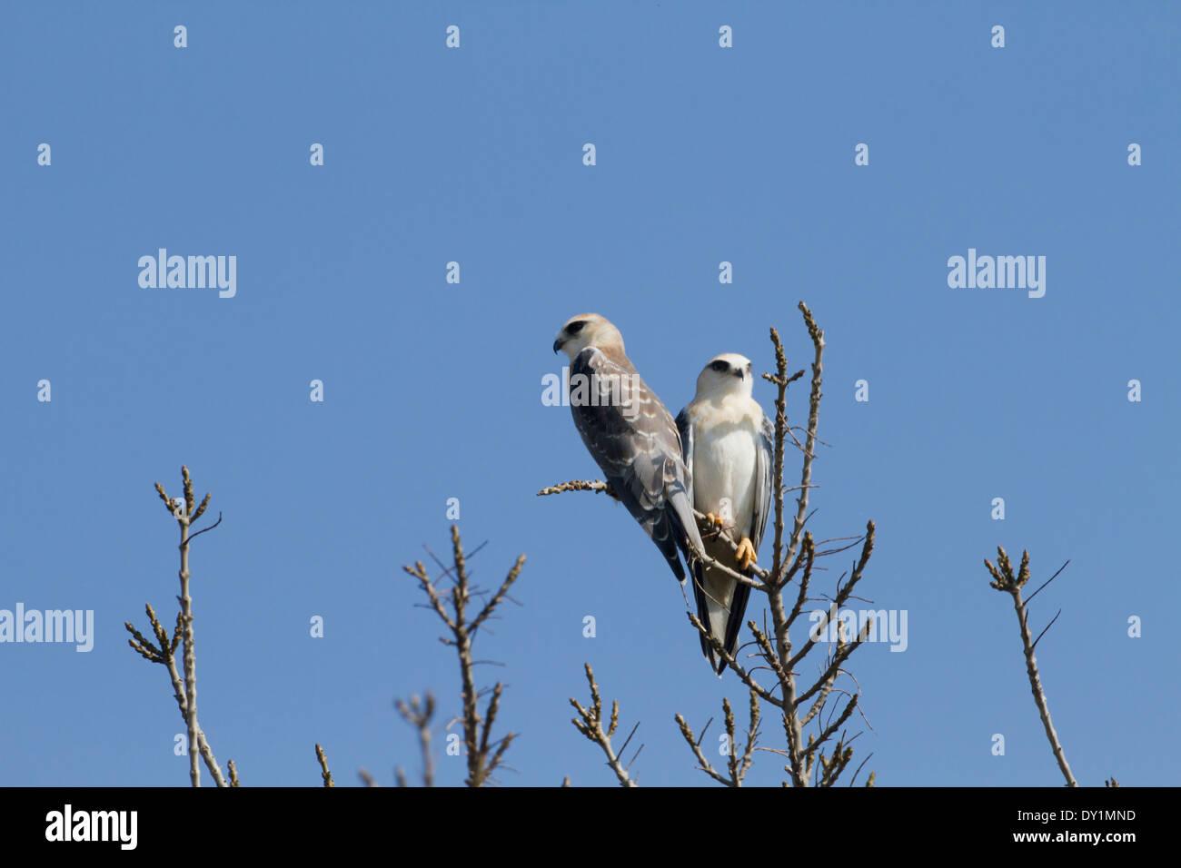 Gleitaar (Elanus Caeruleus) 2 auf Baumkronen, Hulla-Tal, Israel Stockbild
