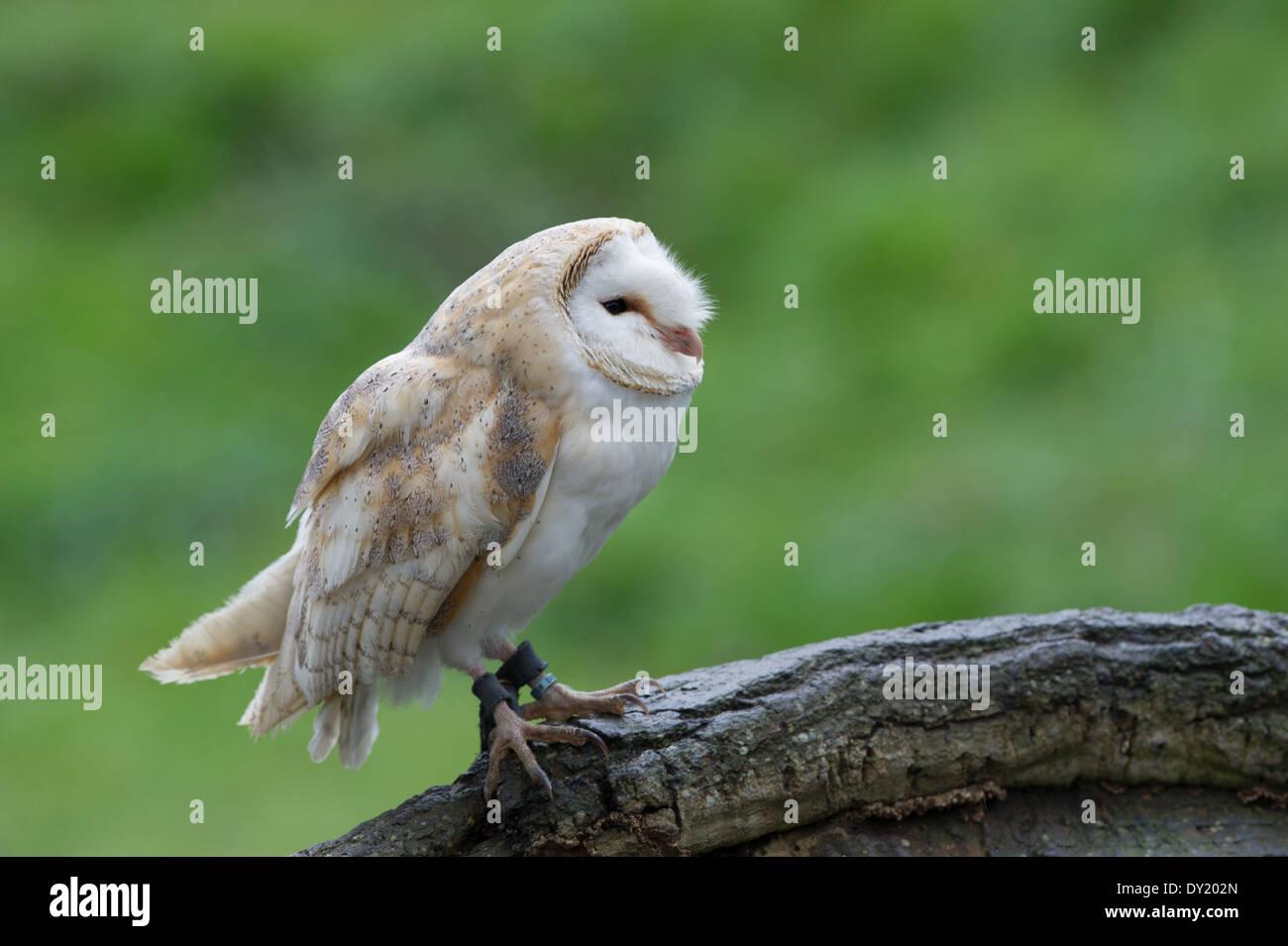 Schleiereule (Tyto Alba) Stockfoto