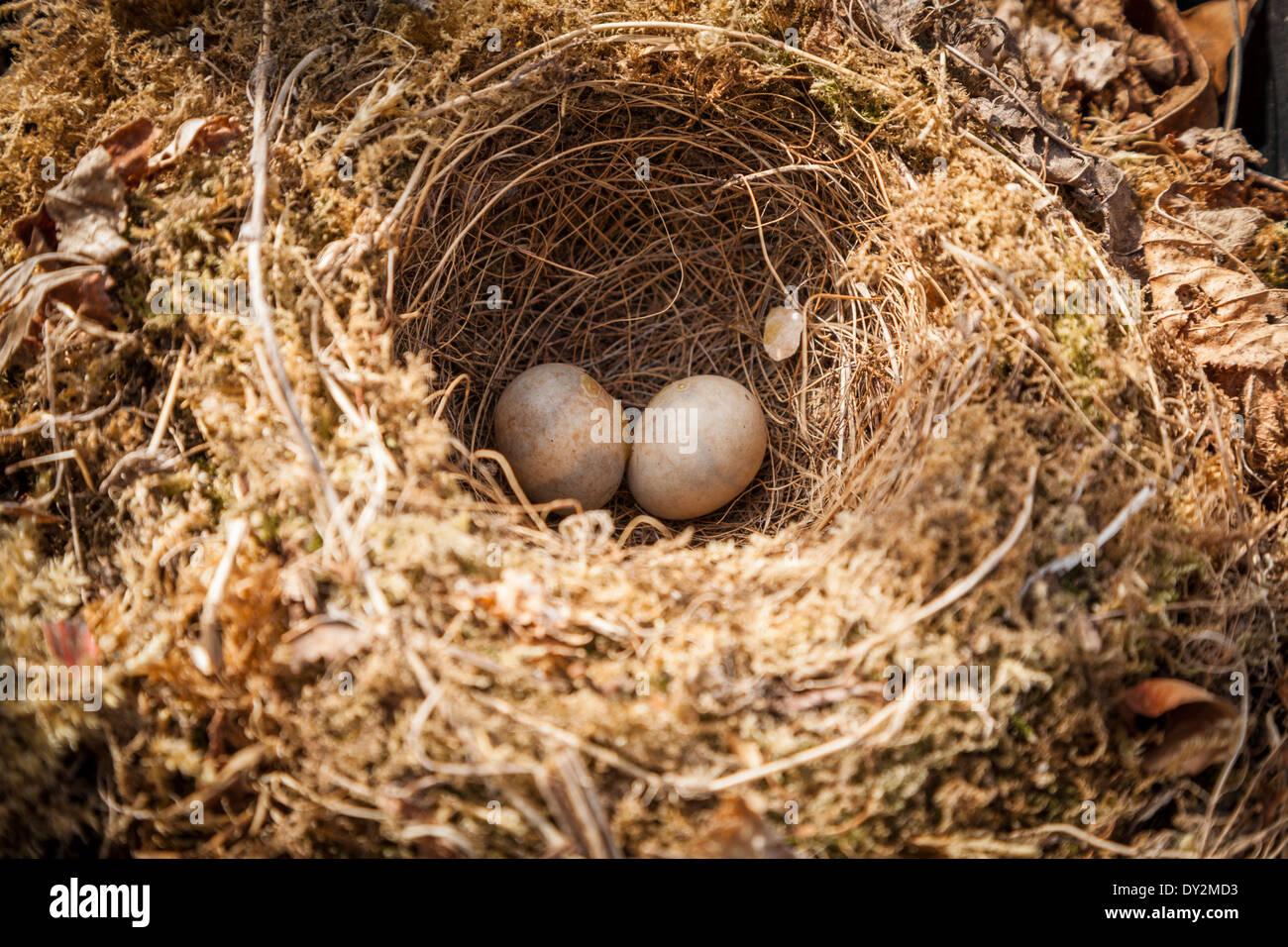 Zwei britische Robin Eiern in verlassene Nest. Stockbild