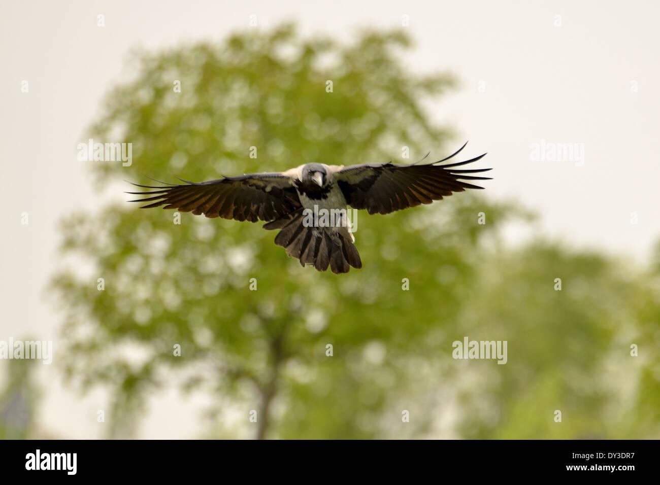 Nebelkrähe im Flug mit grüner Baum hinter sich. Stockbild