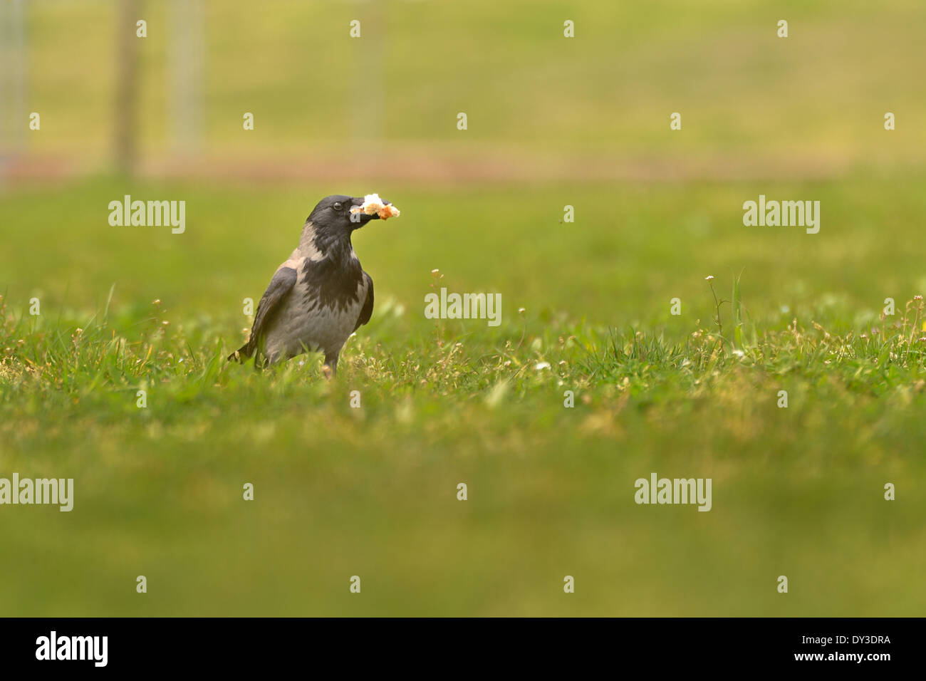 Nebelkrähe in Rasen mit einem Stück Brot auf der Suche Kamera. Stockbild