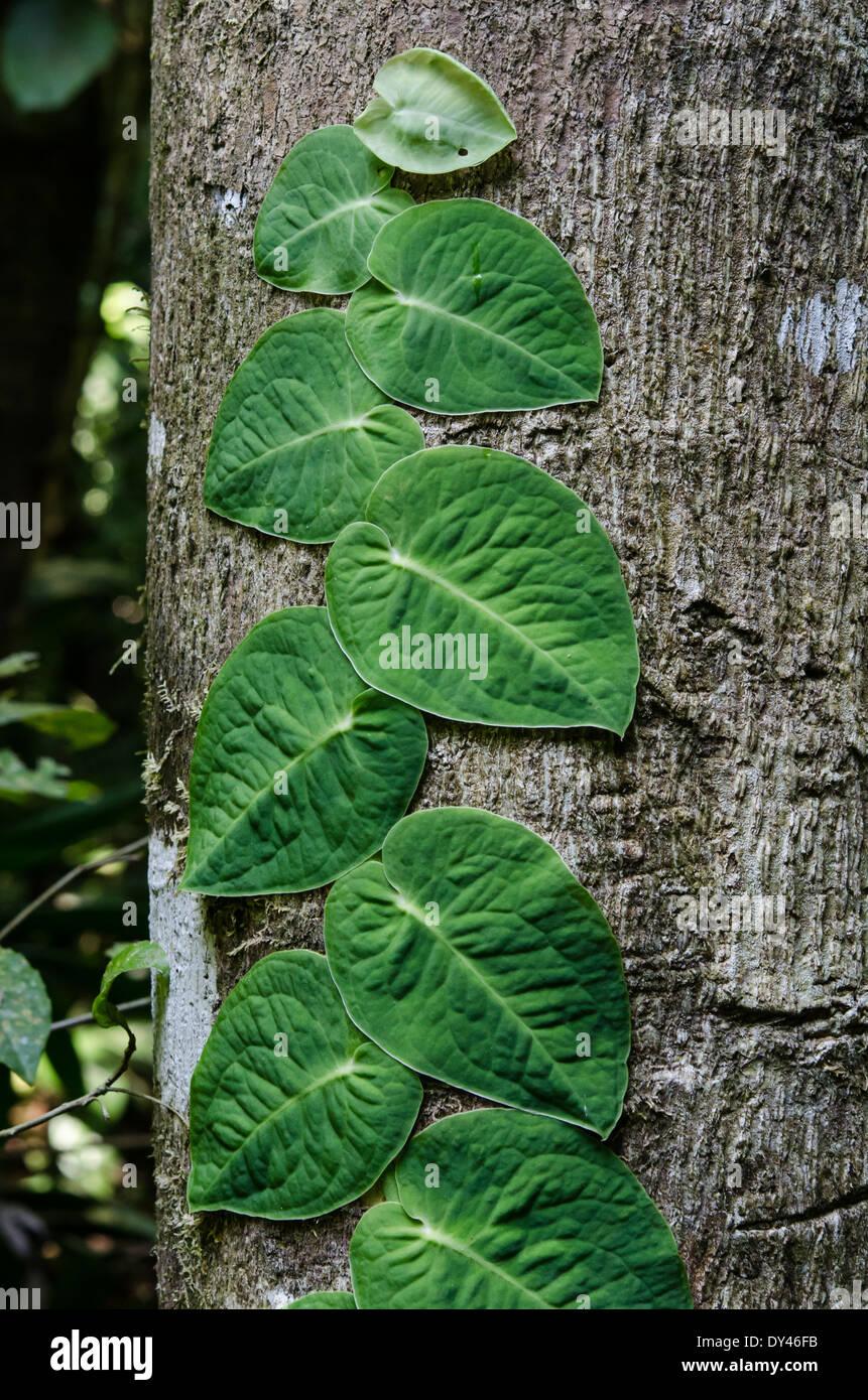 Eine Rebe mit großen grünen Blättern auf einem Baumstamm Clinchen. Monteverde, Costa Rica. Stockbild