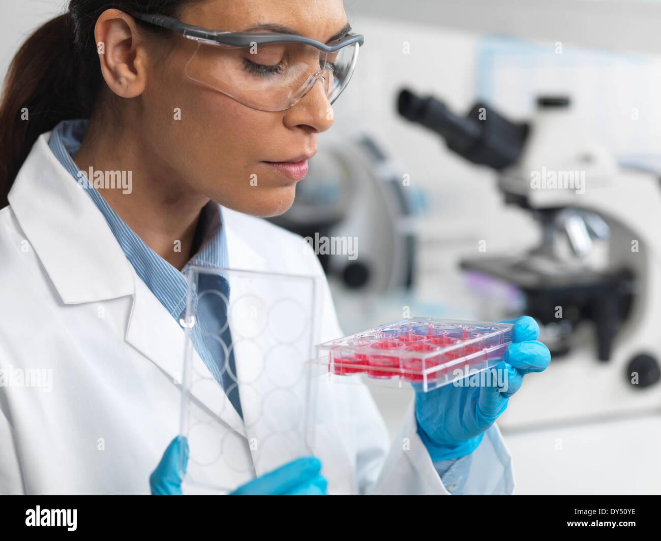 Stammzellenforschung. Wissenschaftlerin untersucht Zellkulturen in multiwell Schale Stockbild