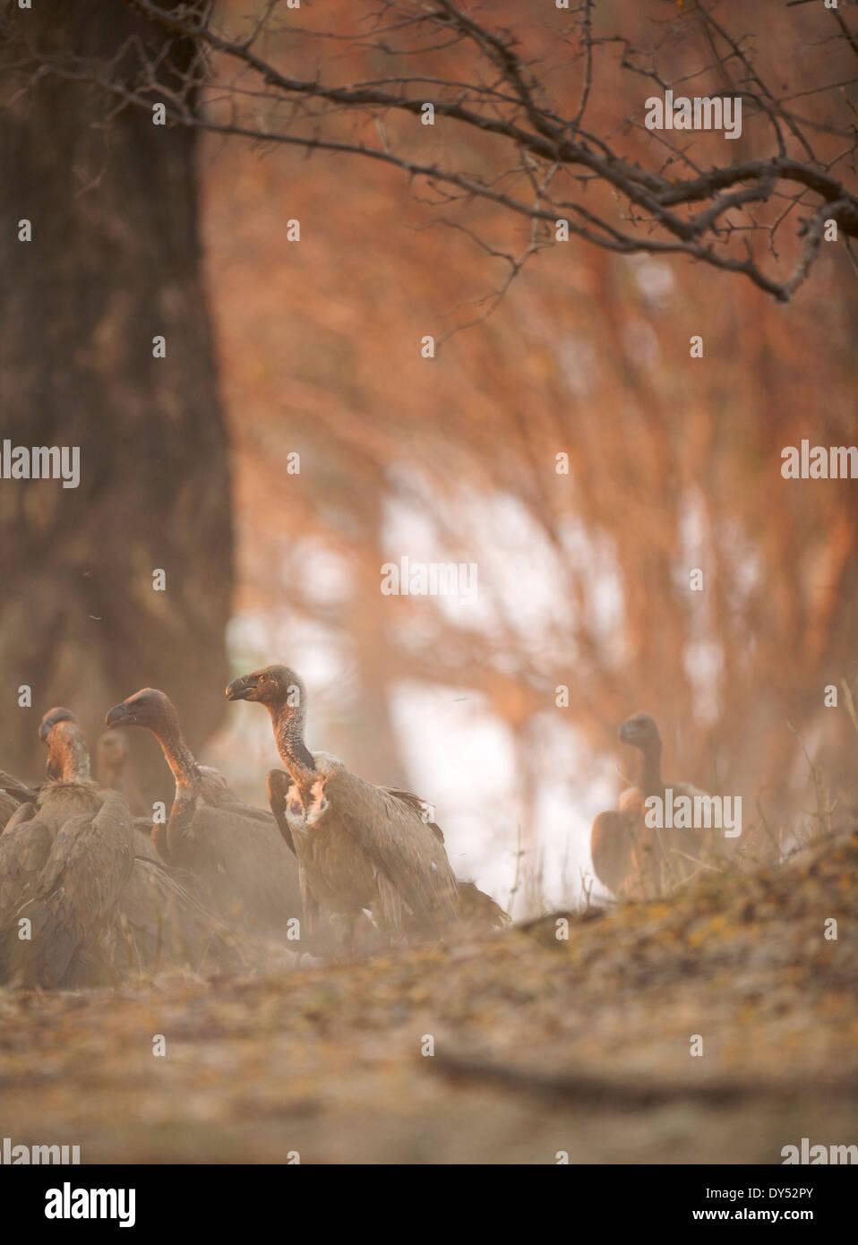 Weißrückenspecht Geier - abgeschottet Africanus - in Staub bei Sonnenuntergang Stockbild