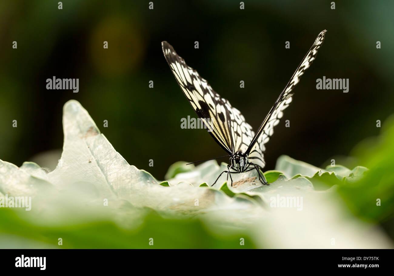 Malabar Baumnymphe Schmetterling Auf Einem Schmutzigen Blatt