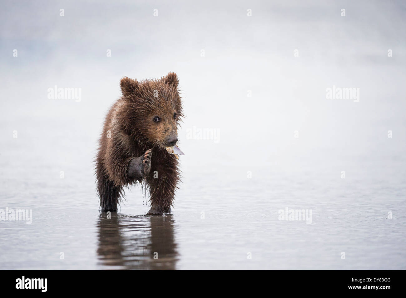 USA, Alaska, Lake Clark National Park and Preserve, Brown Bear Cub (Ursus Arctos) Essen eine Muschel Stockbild