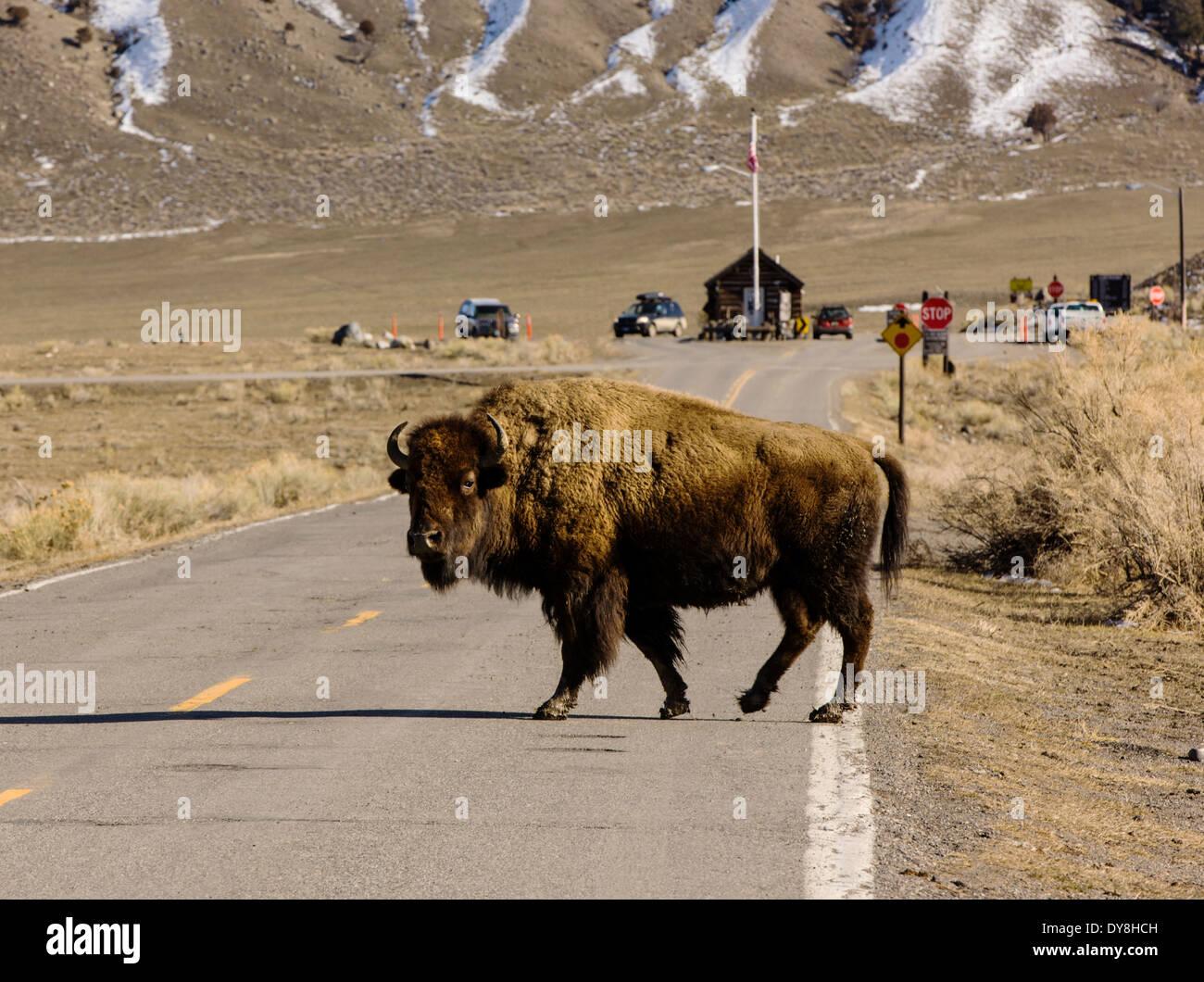 Amerikanische Bisons, American Buffalo, die Straße überqueren, Yellowstone- Nationalpark, in der af2dbd7acc