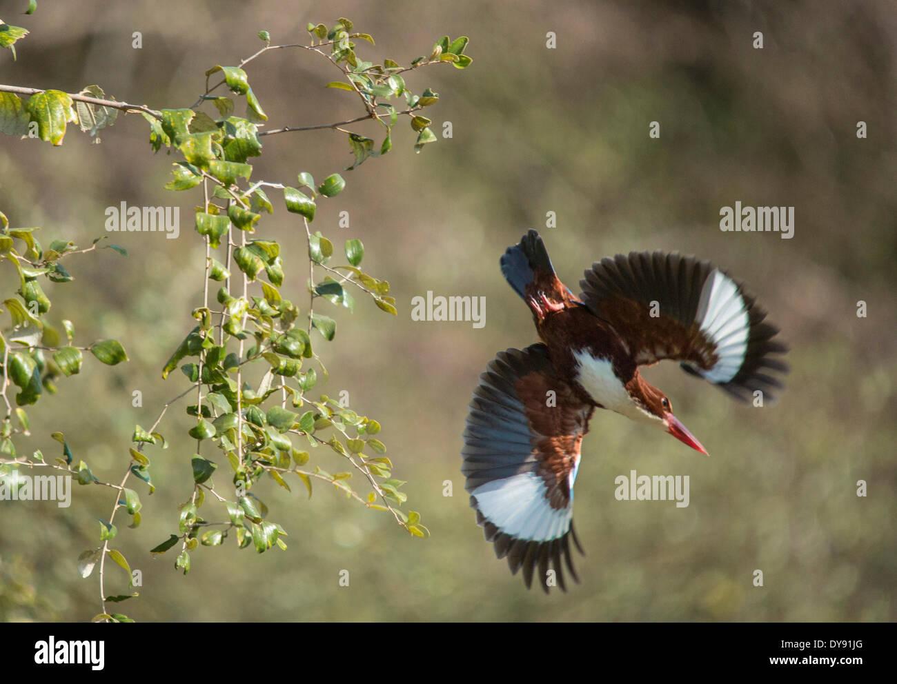 Indisch, Eisvogel, Ranthambore national park, Asien, Indien, Tiere, Rajasthan, Stockbild