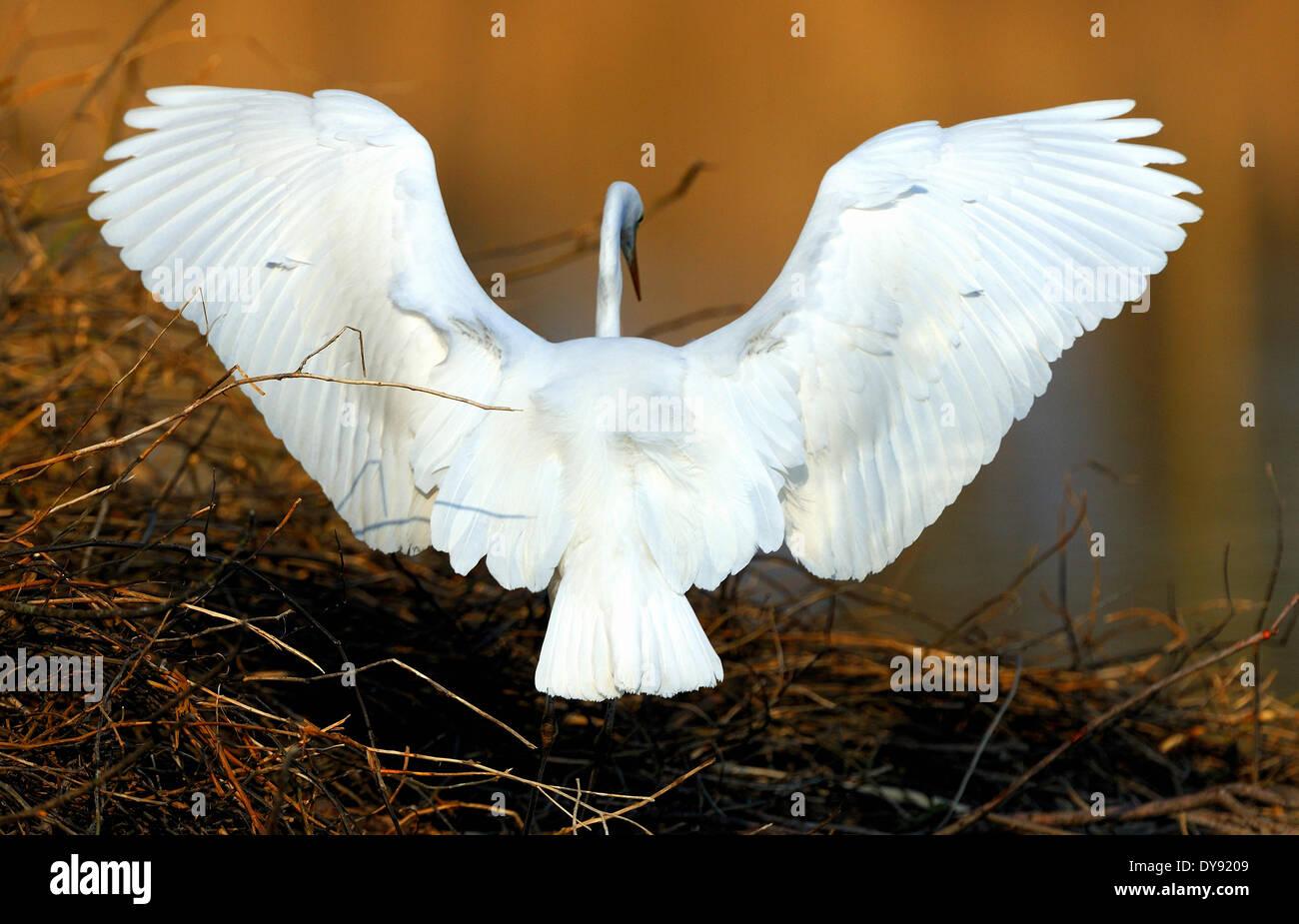 Silberreiher-Casmerodius Albus Reiher Schreitvögel Vögel Wasservögel fliegen Reiher Beaver Lodge Altmühl See Franken Tier, Stockbild