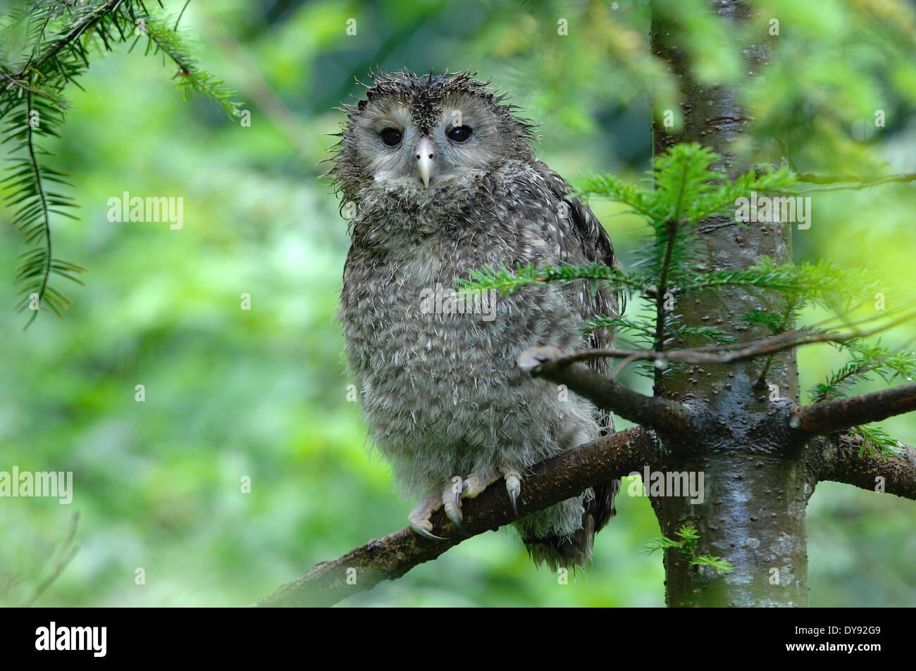 Eulen, Eulen, Habichtskauz, Nachtjäger, Strix Uralensis, Hawk es Eulen, Nacht, Vogel, Vögel, Eule, Tier, Tiere, Deutschland, Europa, Stockbild