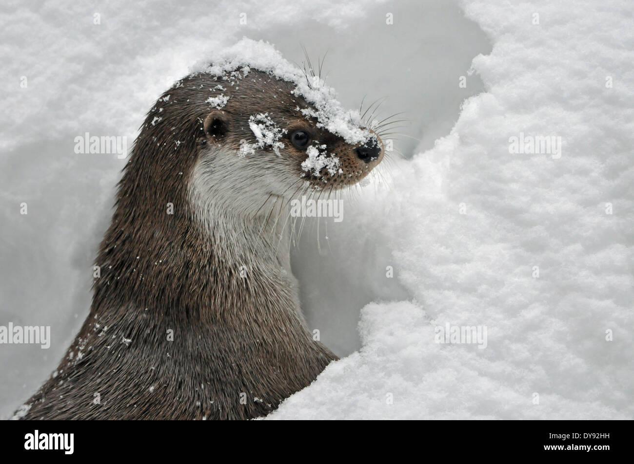 Fischotter Lutra Lutra hairy-nosed Otter Mustelidae Martens Raubtiere Caniden Otter Wasser Predator Fisch Marten Winter Tier anima Stockbild