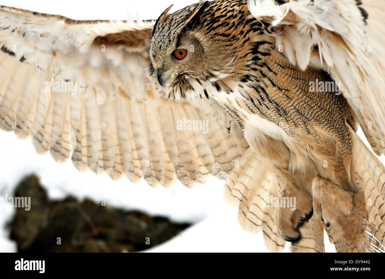 Eule Eulen sibirischen Eule Bubo Bubo Sibiricus Eulen-ähnliche Nachtvögel Beute Vögel Vogel Raptor Tier Tiere Deutschland Stockfoto