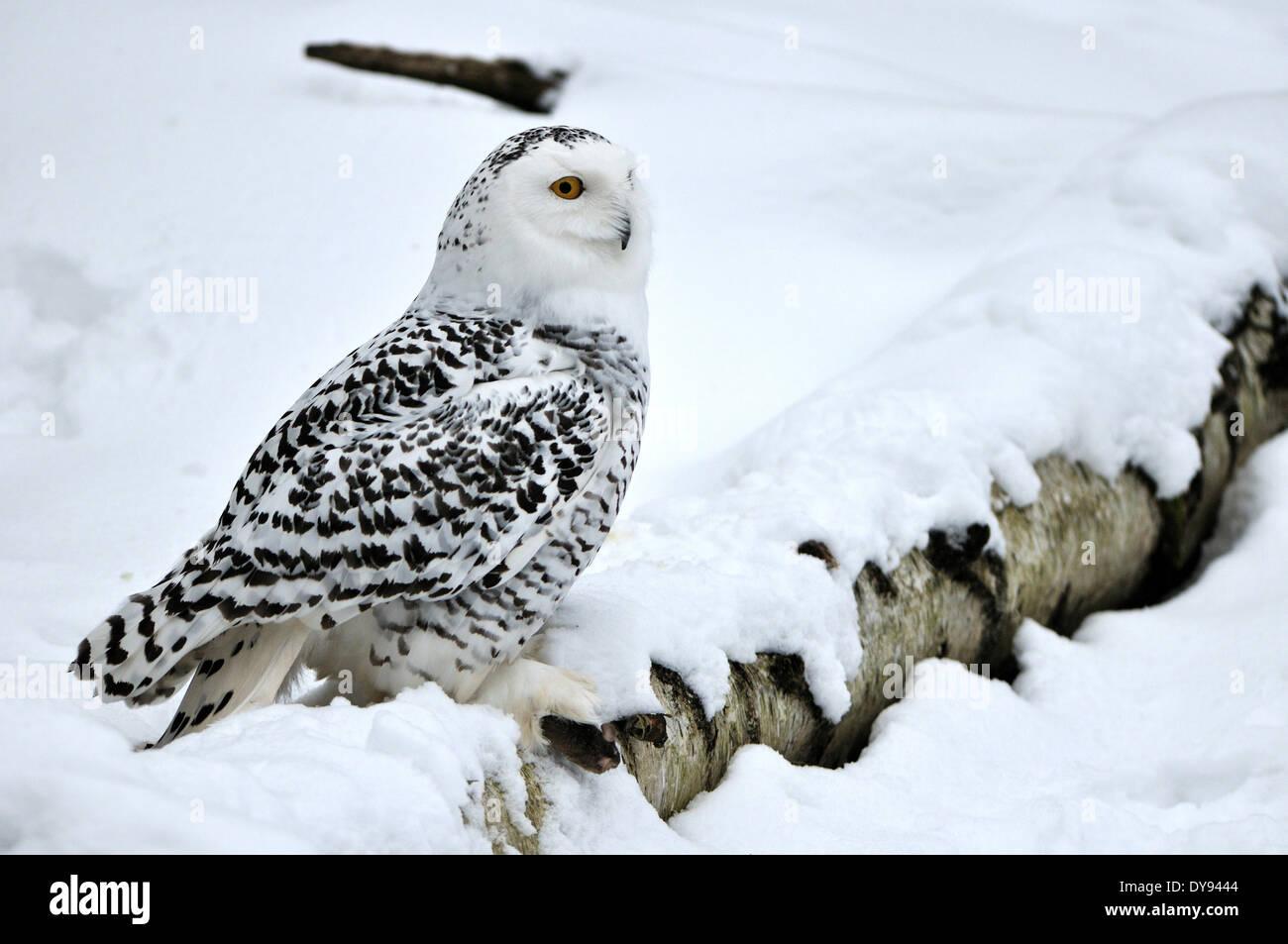 Schneeeule arktischen Owl Eule Eulen Nyctea Scandiaca Nacht Vögel Vögel Vogel Raptor Raubvogel Tier Deutschland Europa, Stockbild