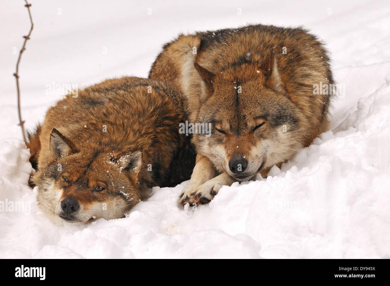 Canis Lupus Caniden europäischer Wolf grauer Wolf Raubtiere Wölfe Raubtier Wolf Winter Schnee kalt Frost Canine Tier Keim Stockbild