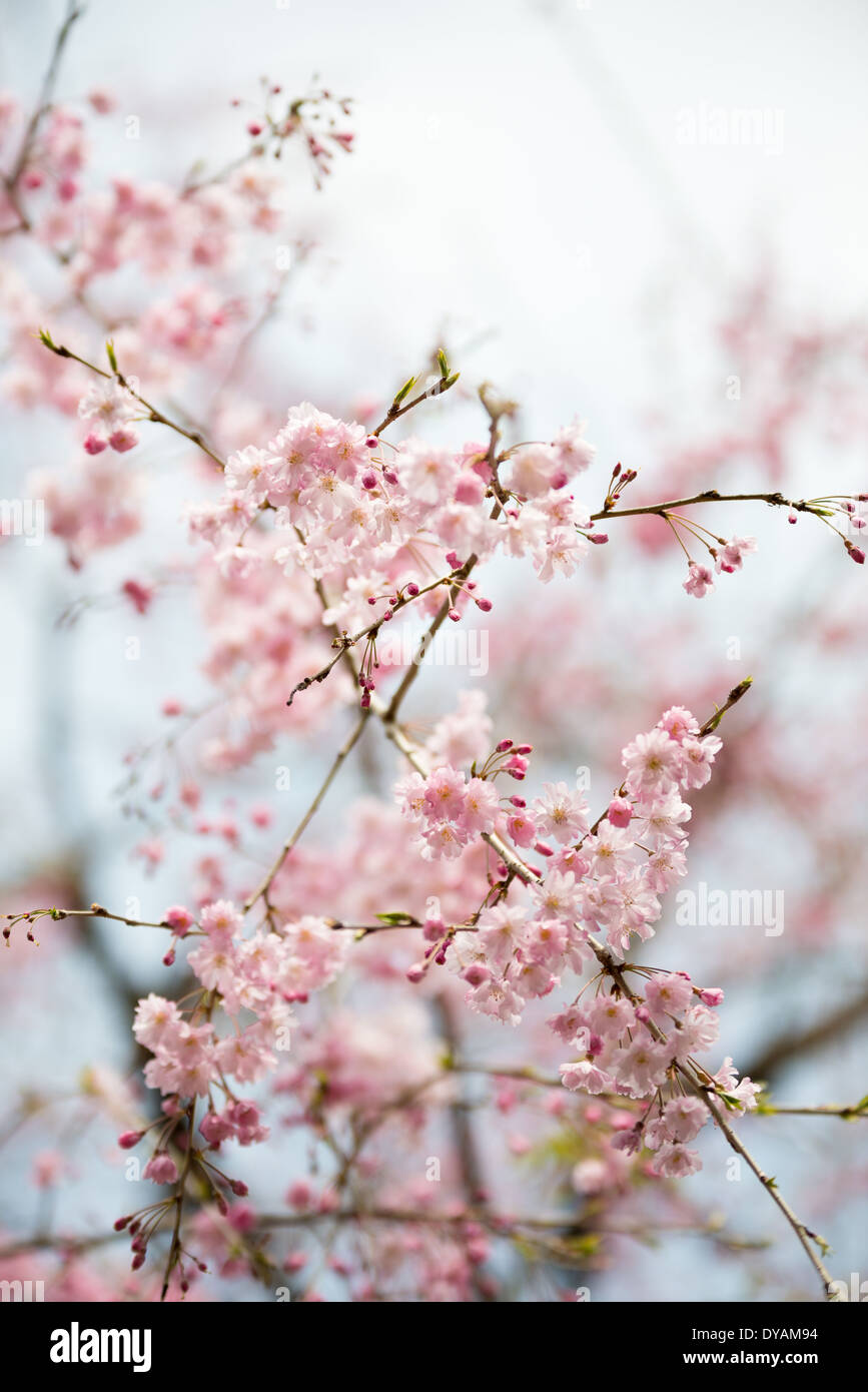 Japanischer Pflaumenbaum blühen im Frühjahr in Shinjuku Goen Nationalpark, Tokio. Stockbild