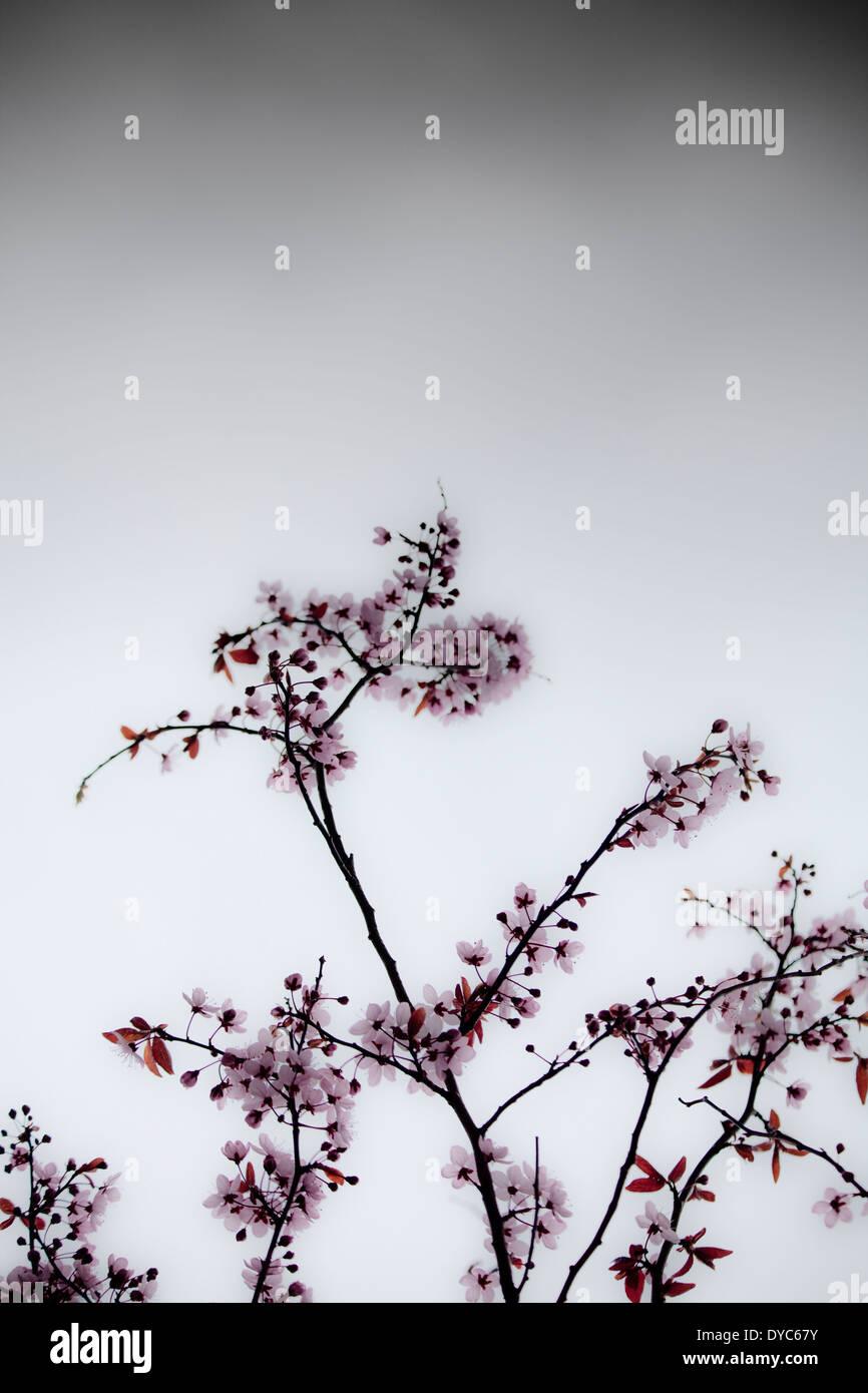 Cherry Blossom stürmischen Himmel Stockbild
