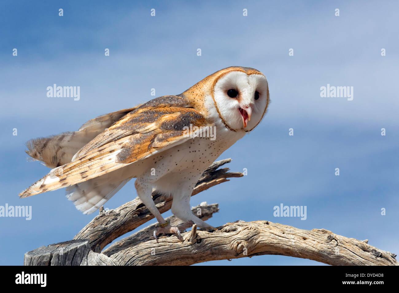 Schleiereule (Tyto Alba) Stockbild