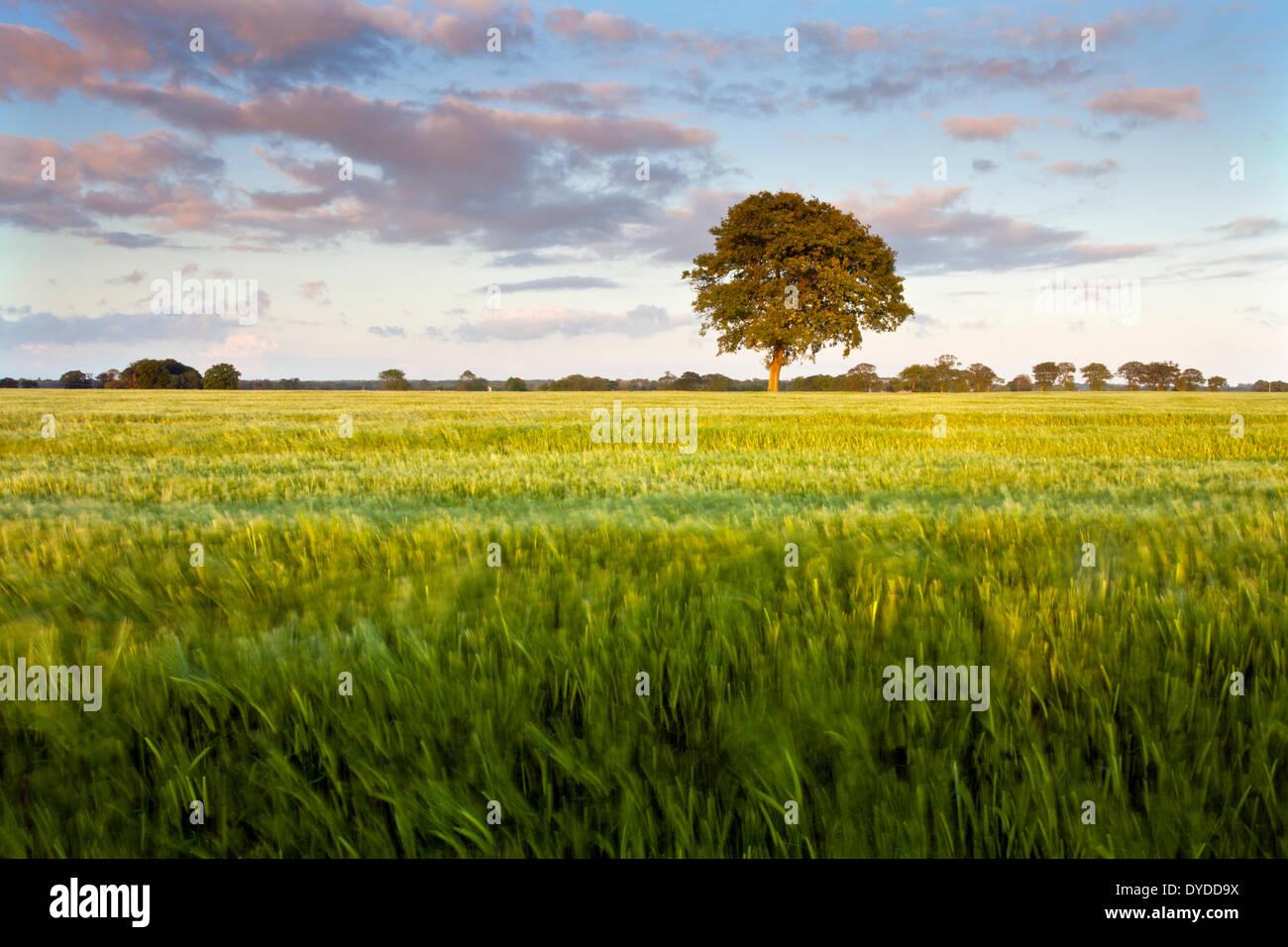 Ein Gerstenfeld in der Norfolk-Landschaft in der Nähe des Dorfes Potter Heigham. Stockbild
