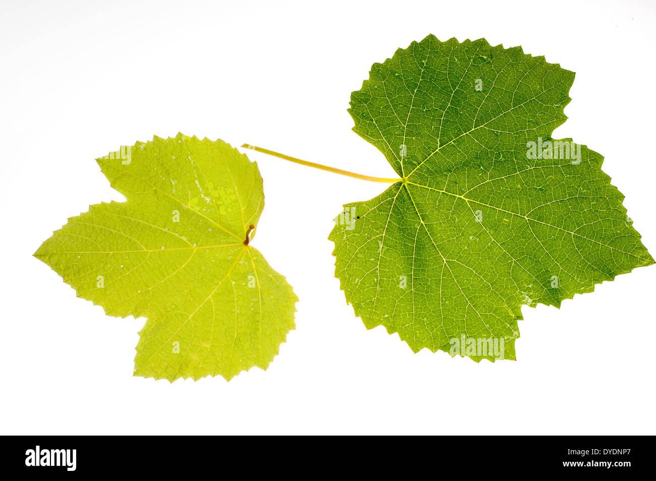 Zwei Weinblättern auf einem weißen backgroung Stockbild