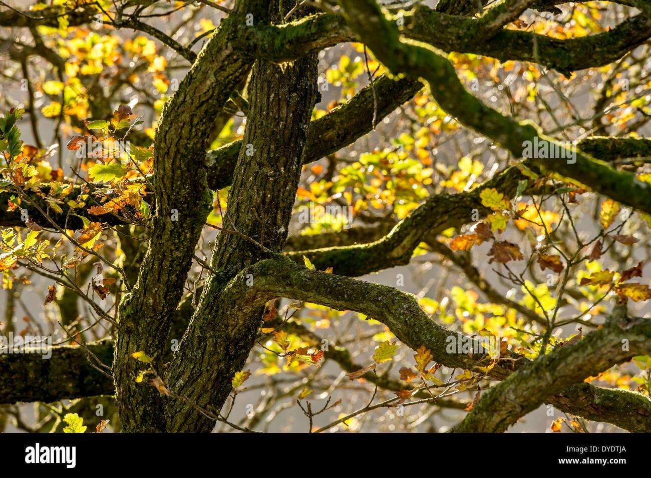 Herbst Licht auf Eichen auf Exmoor, Großbritannien Stockfoto