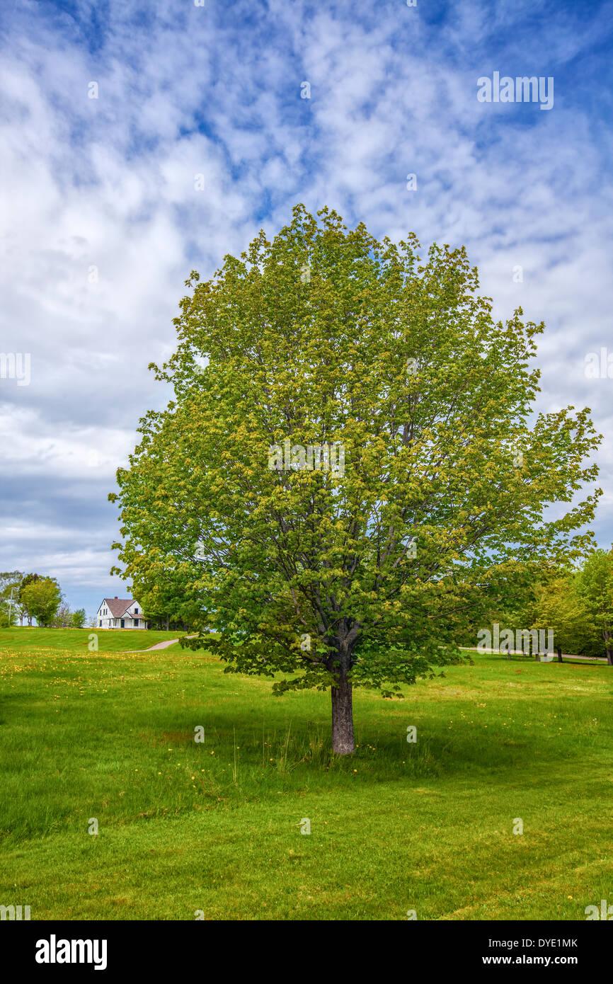 einsamer ahornbaum in einer parklandschaft in l ndlichen. Black Bedroom Furniture Sets. Home Design Ideas